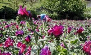 گل گاوزبان گردشگران را به رامسر می کشاند